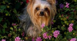 93 Most Popular Yorkshire Terrier Dog Names