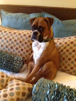 19 Reasons Boxers Are Actually The Worst Dogs To Live With