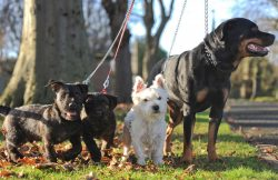 The unlikely  and incomprehensive romance  between Tiny terrier and Rottweiler that produced a l ...
