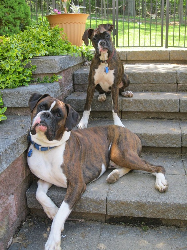 12 Things You Do That Are Unintentionally Breaking Your Boxer Dog's Heart