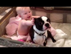 Boston Terrier  and babies . Very funny