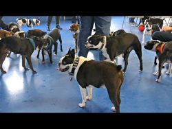 Boston Terrier Madness / gathering