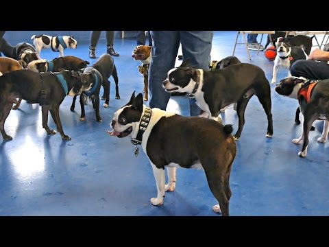 Boston Terrier Madness / gathering
