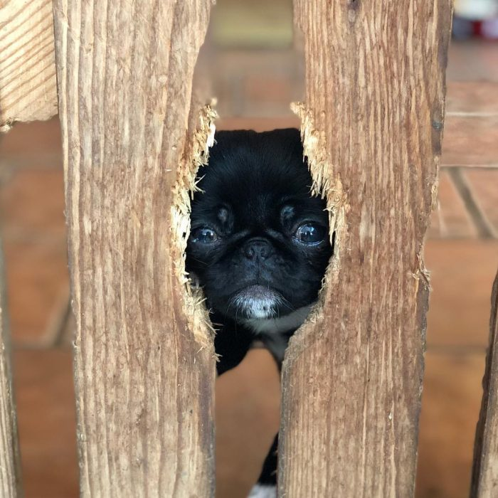 """""Do you like this perfect Topsy sized face hole I've chewed in the gate Mummy?!"" 😂🙈😯 Me; ""Not r ..."