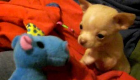 Chihuahuas.xyz – All about Chihuahua breed Dogs and Puppies!