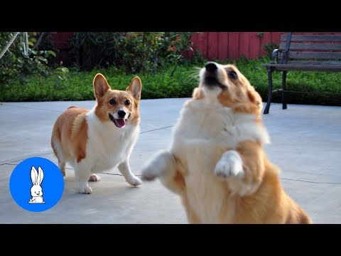 corgis are simply the best