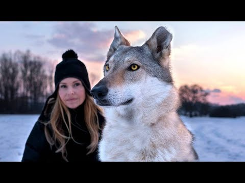 CZECHOSLOVAKIAN WOLFDOG – The Ultimate Guide –