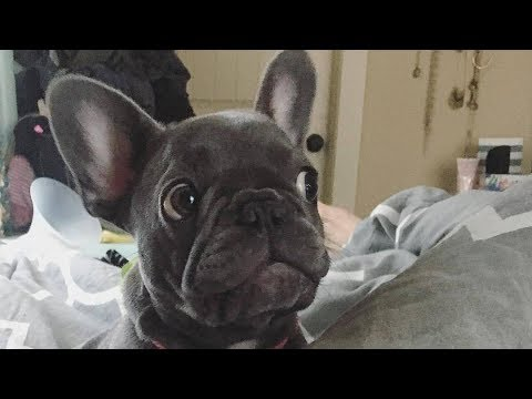 (French Bulldogs are very funny . Here are 86) Funniest & Cutest French Bulldog Videos