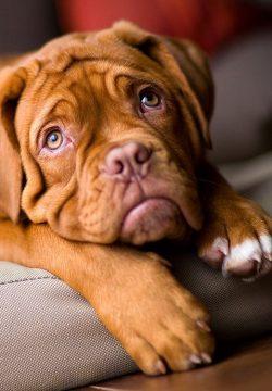 How Much Do You Know About Mastiffs? – Quiz