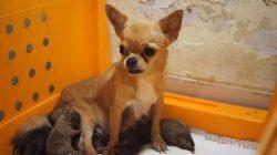 LITTLE CHIHUAHUA GIVING BIRTH TO 5 PUPPIES – Chihuahuas.xyz