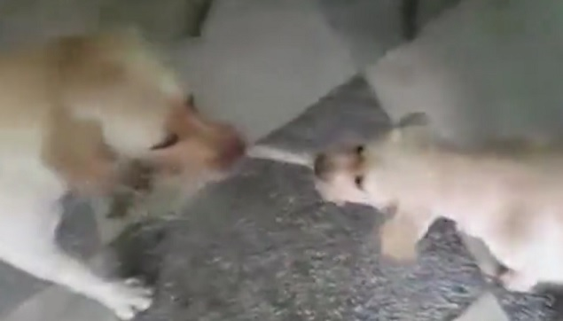 Mama and Baby Yellow Labrador Play Tug of War