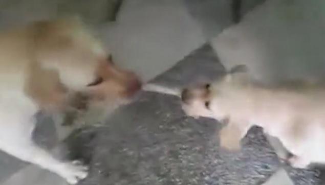 Mama and Baby Yellow Labrador Play Tug of War