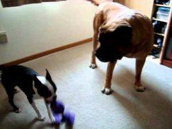 Mastiff VS Boston Terrier. Battle of the minds