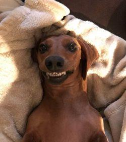 smiling  Dachshund   Sue E Fenton