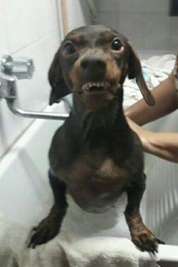 smiling dachshund