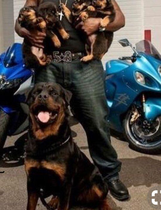 Pin by Ronel Janse van Vuuren, Author on Rottweilers | Pinterest | Rottweilers, Rottweiler and Dog