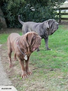 The gentle giant. How much do you know about Mastiff?