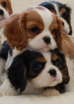 Cavalier King Charles Spaniel are the best and cutest