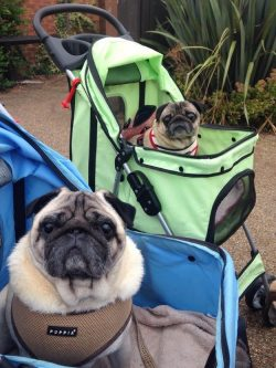 18 Pugs Who Demand To Be Taken Seriously