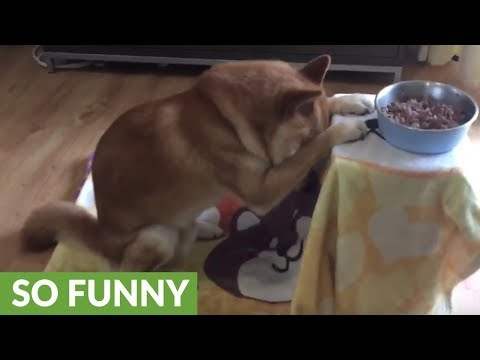 (86) Shiba Inu bows head and prays before eating – YouTube