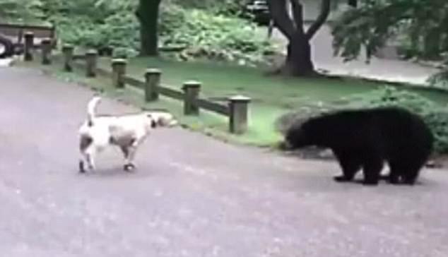 Showdown Between A Labrador And A Bear