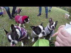 The biggest boston terriers meeting –