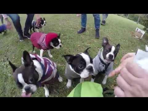 The biggest boston terriers meeting –