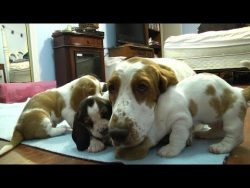 Basset Hound Mom Protects Puppies  from Grandpa! Very Precious!