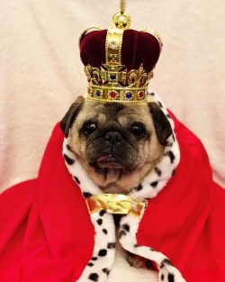 ": ""Percy waiting and wondering where his invite is to the #royalwedding Bubblebecca Pugs"