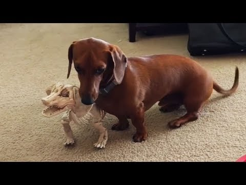 Dachshunds Are Awesome! Funny & Cute Sausage Dogs! – Sparkle Pets
