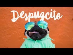 Despugcito – Doug The Pug