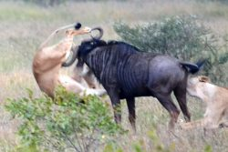 Hook, lion and sinker: Incredible moment wildebeest fights off ravenous lions by hooking horn in ...