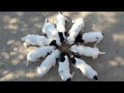 Jack Russell Terrier Puppies Feeding Time