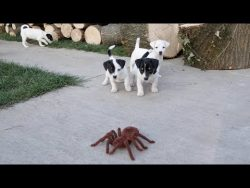 Jack Russell Terrier Puppies vs Spider