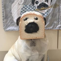 """Who wants to eat this sandwich 🥪? Comment below 👇 Follow 👉…""  Pug Fanatics"