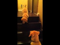 Puppy teaching Puppy to go down stairs! SO cute! – ORIGINAL VIDEO! (from owner)