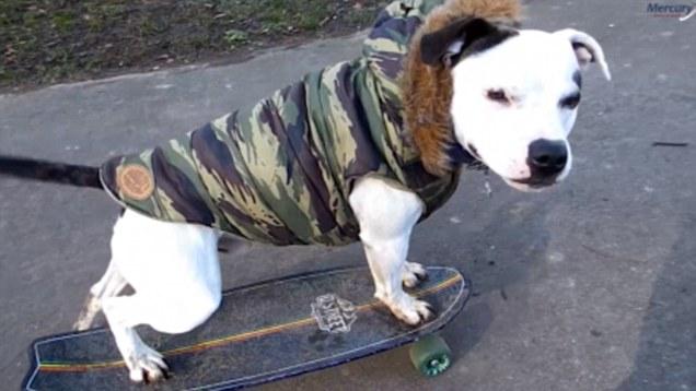 Yuri The Staffordshire Bull Terrier