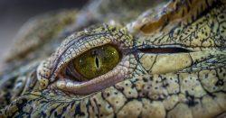 Beautiful Nile Crocodile Photos ·