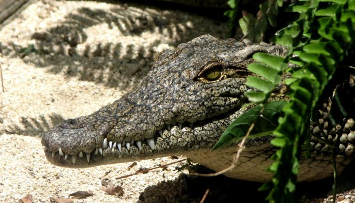 20+ Beautiful Nile Crocodile Photos ·