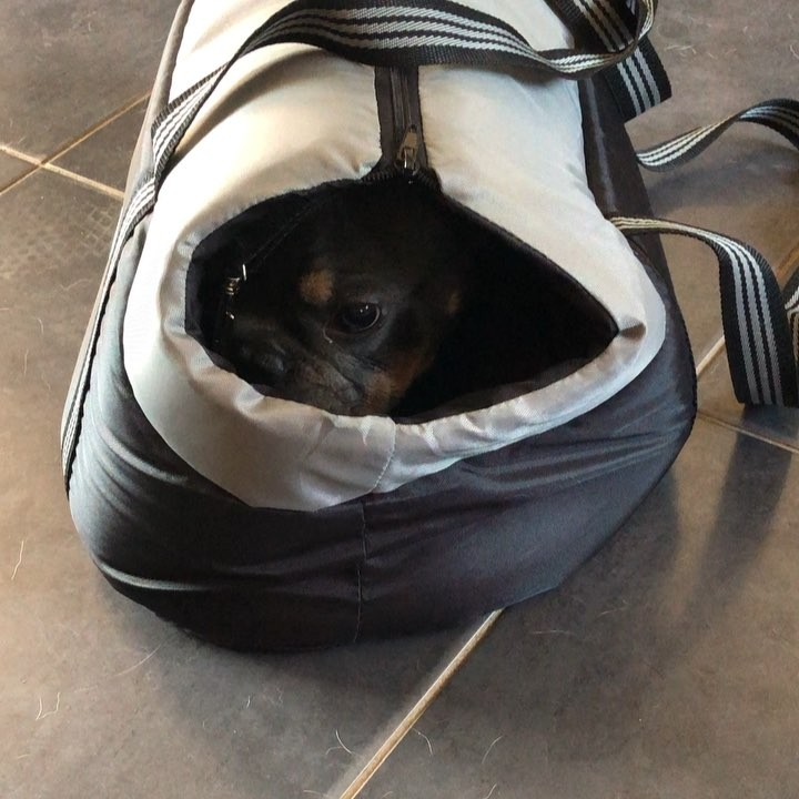 """Bubblebecca Pugs on Instagram: """"Freddie trying out his new carrier sent from his #friends Carole ..."""