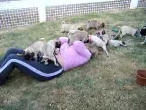 Pug Puppies attack