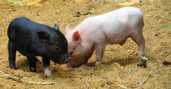 Animal Pig Piglet