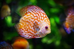 Discus Fish Fauna Symphysodon
