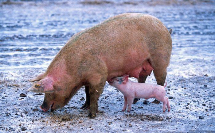 Pig Sow Piglet