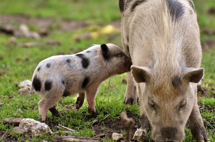 Piglet Small Pigs Mini