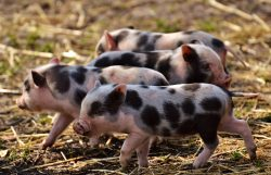 Piglet Young Animals Pig