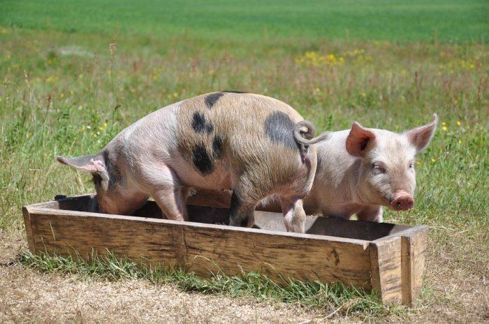 Pigs Pig Linderödsgris