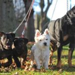 <p>West Highland terrier, Joey, mated with Rottweiler Zara shortly </p>