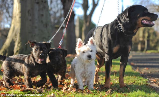 West Highland terrier, Joey, mated with Rottweiler Zara shortly