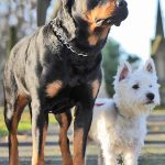 <p>West Highland terrier, Joey, mated with Rottweiler Zara shortly</p>